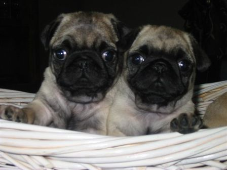 JNJ Pug Ranch, Pugs, Pug Puppies, Pug Breeders, Miles City, MT